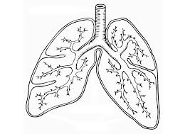 Lungs coloring worksheet Respiratory System Lungs