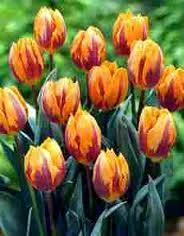 tulip princess irene bulbs tulip bulbs tulip princess irene