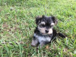 Morkies Do They Shed by Tiny Morkie Pup For Sale In Florida