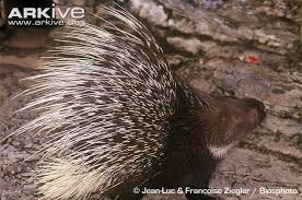 Porcupine Eats Pumpkin by North African Crested Porcupine Photo Hystrix Cristata G78171