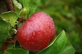 Download Wallpaper Apple Tree Garden Drops HD Background