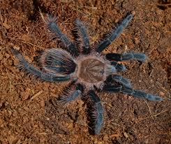 Do Tarantulas Shed Their Legs by Nine Image Curly Haired Tarantula Brachypelma Albopilosum Molt