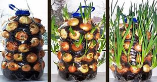 how to grow unlimited onions