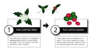 How Kopi Luwak Is Grown