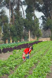 Underwood Pumpkin Patch Moorpark by Strawberry Picking U2014 West Coast Capri