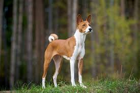 What Dog Sheds The Most by Basenji Dog Breed Information Pictures Characteristics U0026 Facts