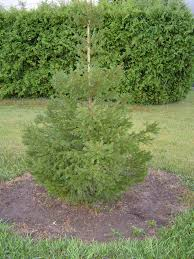 Christmas Tree Seedlings by European U0026 Norway Spruce Trees For Sale Cold Stream Farm