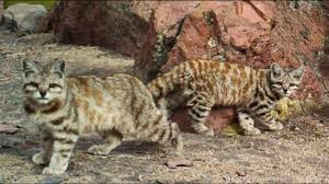 mountain cat fantastic known felines andean mountain cat facts