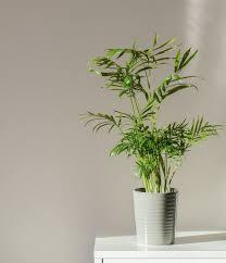 die 10 besten luftbefeuchter pflanzen gegen trockene raumluft