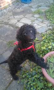 Dogs That Dont Shed Hair Ireland by 32 Best Irish Water Spaniels Images On Pinterest Irish Water