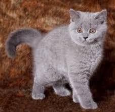 shorthair cat price shorthair breeders australia shorthair kittens