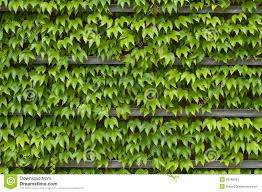 Green Ivy Texture Stock Image Of Flora Color