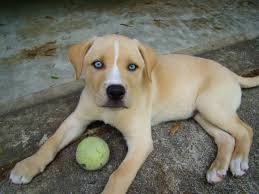 Non Shedding Husky Cross by 9 Adorable Husky Labrador Mix Puppies Saveourpuppy Com