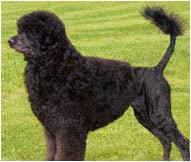 Portuguese Water Dog Non Shedding by Portuguese Water Dog Breed Facts And Traits Hill U0027s Pet