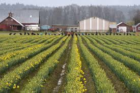 weather s been dour for flowers drippy skagit valley fields
