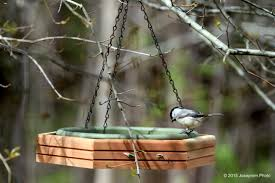 Birds In My Backyard - Joseprem.Photo Some Ways To Keep Our Backyard Birds Healthy Birds In The These Upcycled Diy Bird Feeders Are Perfect Addition Your Two American Goldfinches Perch On A Bird Feeder Eating Top 10 Backyard Feeding Mistakes Feeder Young Blue Jay First Time Youtube With Stock Photo Image 15090788 Birdfeeding 101 Lover 6 Tips For Heritage Farm Gardenlong Food Haing From A Tree Gallery13 At Chickadee Gardens Visitors North Andover Ma