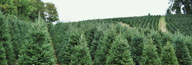 Fraser Fir Christmas Trees Nc by Homer And Bonnie U0027s Trees Nc Wholesale Christmas Trees
