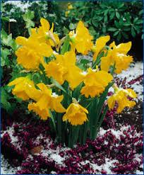 rijnveld s early sensation from the engelen flower bulbs