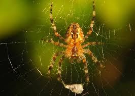 Pumpkin Patch Tarantula Scientific Name by Pumpkin Spiders On The Move U003e Bay Nature Bay Nature