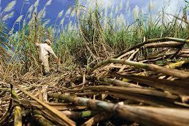 Cuba Faces Lean Sugar Harvest In Wake Of Hurricane