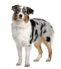 Small Non Shedding Dogs Australia by Australian Shepherd