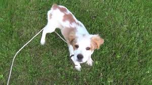 french brittany pup shed hunting 2 youtube