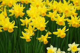mini daffodil february gold dutchgrown