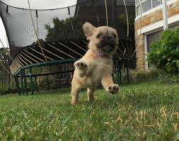 Do Pugs And Puggles Shed by Pug X Maltese Cottage Canines Australia