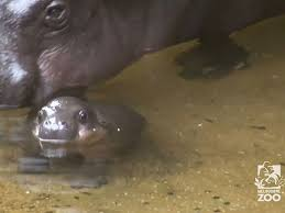hippopotamus si鑒e social hippopotamus si鑒e social 100 images si鑒e social hippopotamus