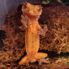 Crested Gecko Shedding Behavior by Crested Gecko Terrarium Size U0026 Cohabitation Notes Reptifiles