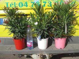 laurier en pot de 17cm www jardinerie jean gerard fr