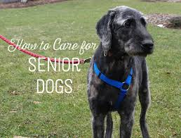 Big Dogs That Dont Shed Badly by Caring For An Elderly And Aging Dog Pethelpful