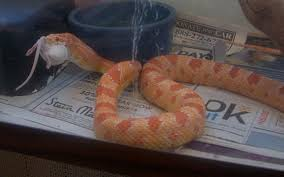 Corn Snake Shedding Signs by Your First Pet Snake 7 Steps