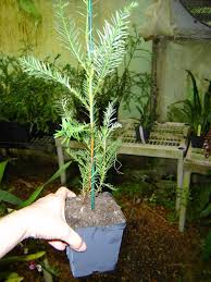 Christmas Tree Saplings Ireland by Fast Growing California Redwood Tree Sapling In 4 Inch Pot From