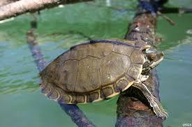 northern map turtle turtleholic