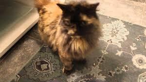 haired cat gorgeous hair tortoiseshell cat