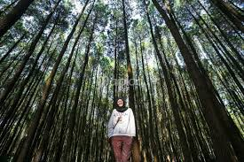 Hutan Pinus Mangunan Desa Kecamatan Dlingo Kabupaten Bantul Yogyakarta