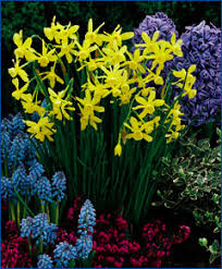 selections from the engelen flower bulbs catalog hawera late