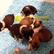 Do Pocket Puggles Shed by Prada Puppies Home Facebook