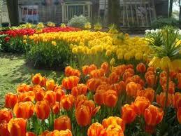 tulipa darwin hybrid apeldoorn s elite tulip from adr bulbs