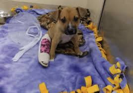 This 2 Month Old Puppy Now Named Noel Was Left At The Front Door Of Flower Mound Animal Adoption Center On Dec 8 With A Broken Leg