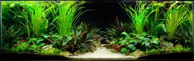 The Key To A Successful Planted Fish Tank Aquarium | Tropical Fish ... Pin By Ally Bragg On Design Technology Pinterest Planted Everything About Aquascaping The Incredible Undwater Art Basic Forms Aqua Rebell 60 Carpet Carpeting Live Aquarium Plants Aquariums And Ideas From The Of Limnophila Sessiliflora Orange Aquatic Lab Tutorial River Bottom Natural Aquarium Plants Gardens Online Plant Specialist Supplier How To Deal With Algae Love Planting Wiki Styles Aquascapers Suitable