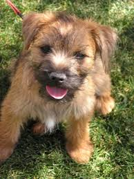 Border Terrier Non Shedding by Border Terrier Dog Breed