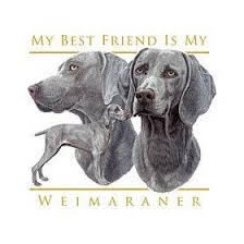 Do Long Haired Weimaraners Shed by Weimaraner Breed Information