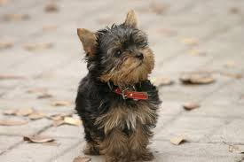 List Of Non Shedding Hypoallergenic Dogs by Latest Updates Hypoallergenic Dog Secrets