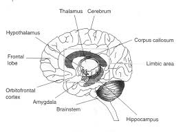 Brain Diagram Labeled Black And White Brain Diagram Labeled