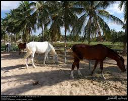 Horses In Barn Of Abdullah Bin Zain In Al Dahariz, Salalah… | Flickr Just Horses In The Barn Horse Portraits Treading George Washingtons Mount Vernon How Your Horse Learns By Watching You Owners Resource In A Painted Petcustom Pet Patings Two Cadian And Snow Weather Stock Video Footage East Bay Real Estate The West Side Story Barns For Miniature Small Horizon Structures Cooling Horses Archives Windmill Ceiling Fans Offtopic Monday Photos Peace Love Fostering Arabian Stable Looking Over The Barn Door Nice Using Premise Sprays To Protect Absorbine