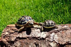 Flukers Turtle Clamp Lamp by Western Hermann U0027s Tortoise For Sale Yearling Hermanns Tortoise