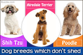 Best Dog Breeds That Dont Shed by Most Popular Hypoallergenic Non Shedding Dog Breeds