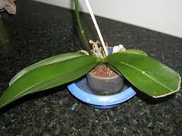 conseils d arrosage pour les orchidées comment arroser une orchidée